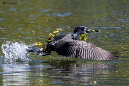 ND5_7003 cormorano